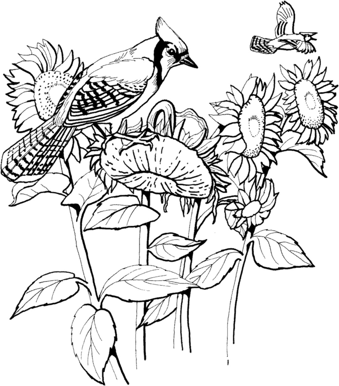 Blue Coloring Pages For Kids  Blue Jay Coloring Pages Printable Birds For Kids grig3