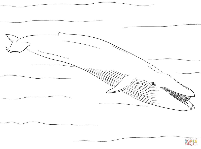 Blue Whale Coloring Pages  Blue Whale coloring page