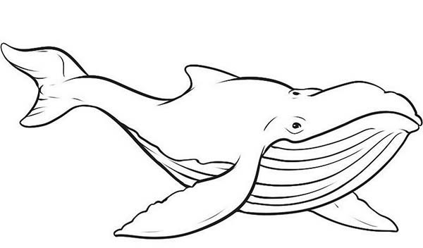 Blue Whale Coloring Pages  Picture of Blue Whale Coloring Page NetArt