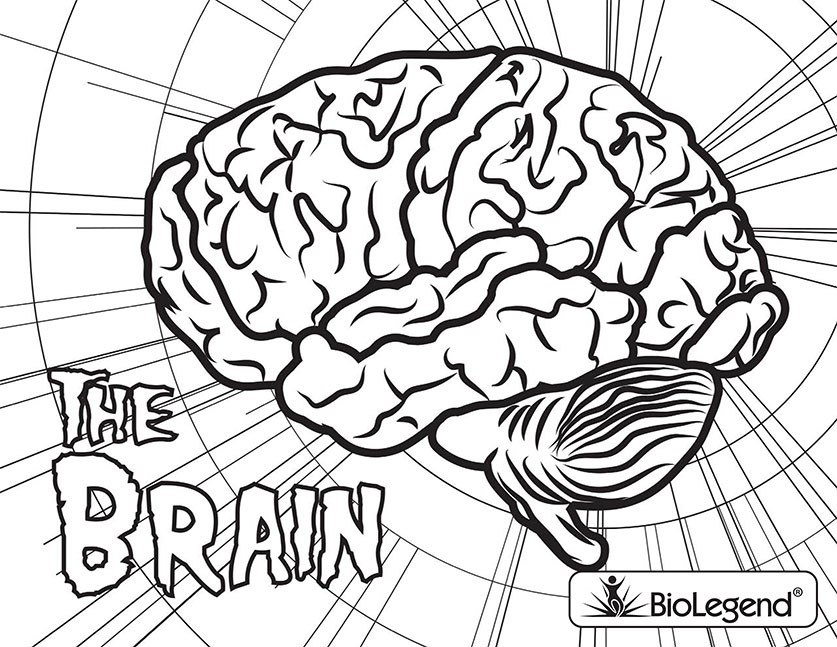 Brain Coloring Sheet  BioLegend Legendary Coloring Book