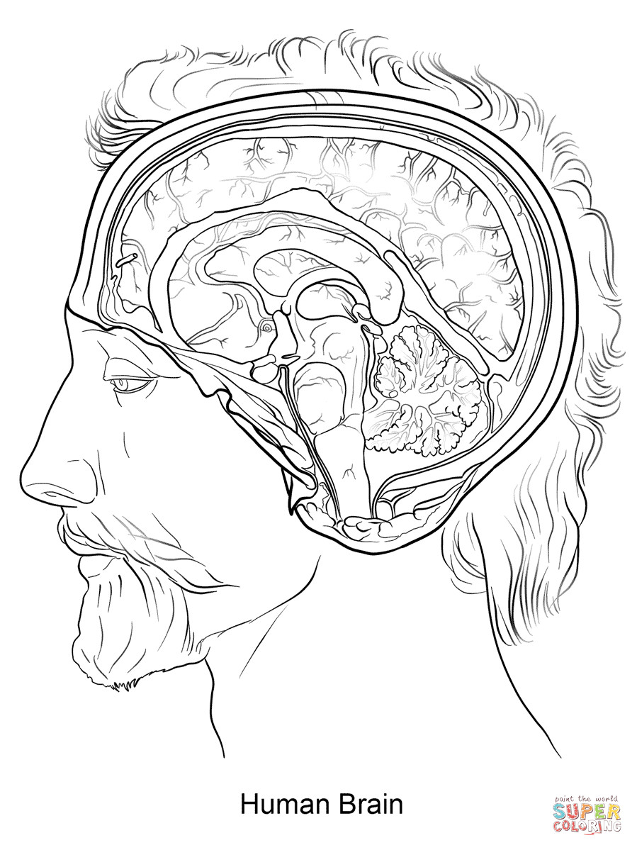 Brain Coloring Sheet  Human Brain coloring page
