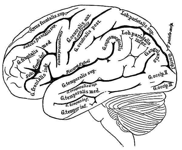 Brain Coloring Sheet  Human Brain Coloring Sheets