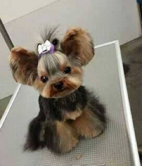 Cute Yorkie Haircuts  100 Yorkie Haircuts for Males Females Yorkshire