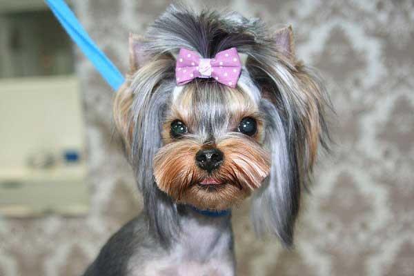 Cute Yorkie Haircuts  Yorkie Haircuts 100 Yorkshire terrier Hairstyles