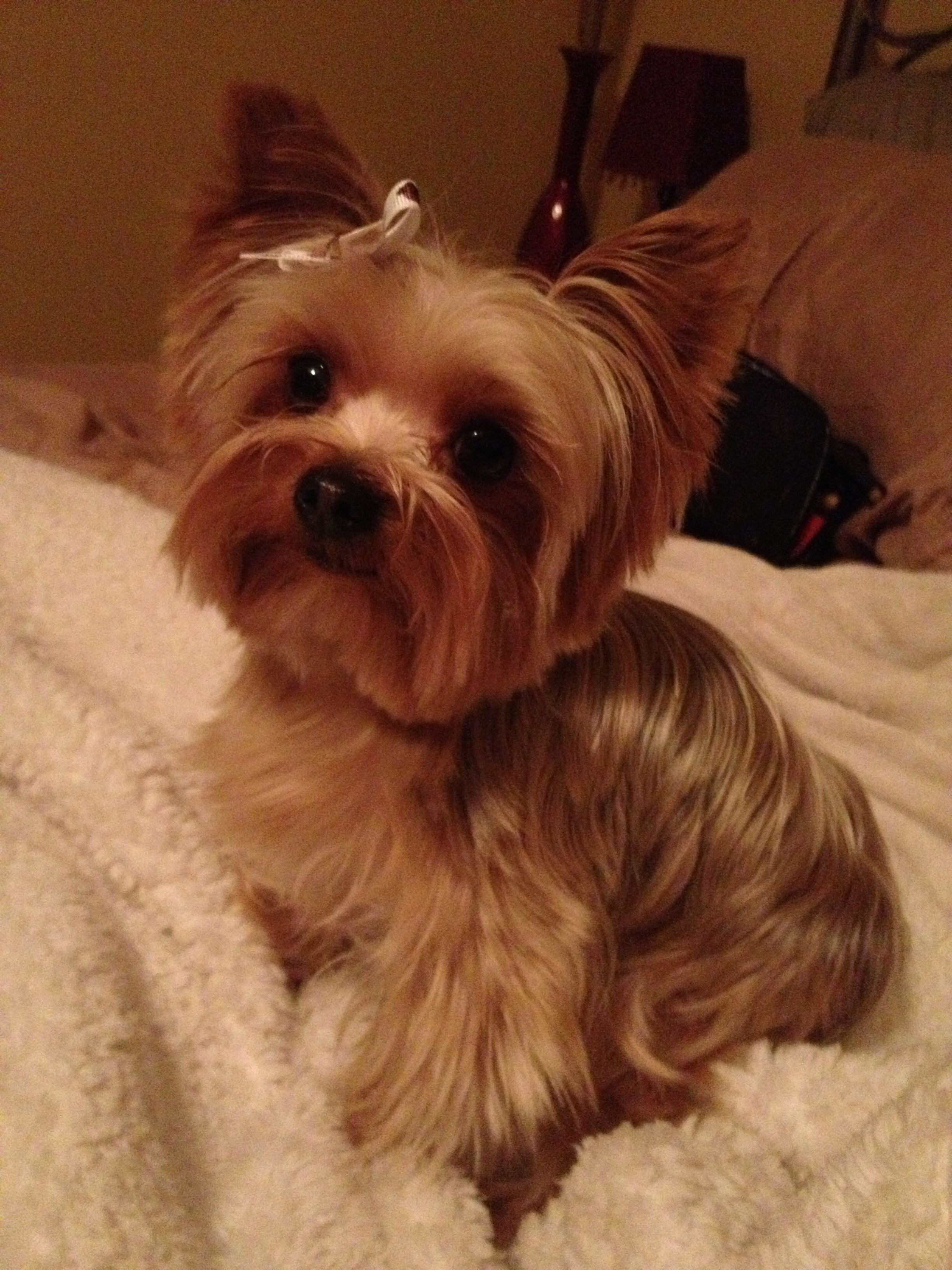 Cute Yorkie Haircuts  Boy Yorkie Hairstyles Yorkie Hairstyles For Males Fade