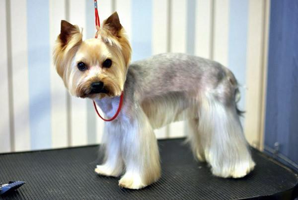 Cute Yorkie Haircuts  YorkshireTerrierKingdom
