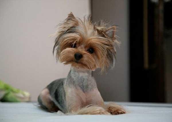 Cute Yorkie Haircuts  10 Cute Yorkie Puppy s