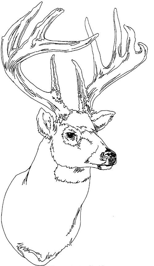 Deer Head Coloring Pages  Behold The Legendary Whitetails
