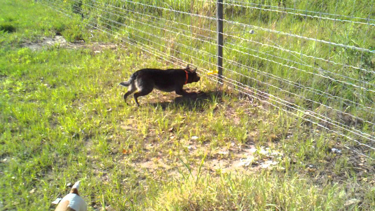 DIY Electric Dog Fence  Our dog Pepper eating the electric fence4