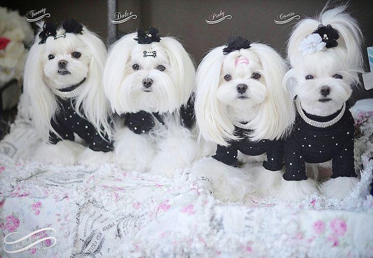 Best ideas about Female Maltese Haircuts . Save or Pin De 20 bästa idéerna om Dog haircuts på Pinterest Now.