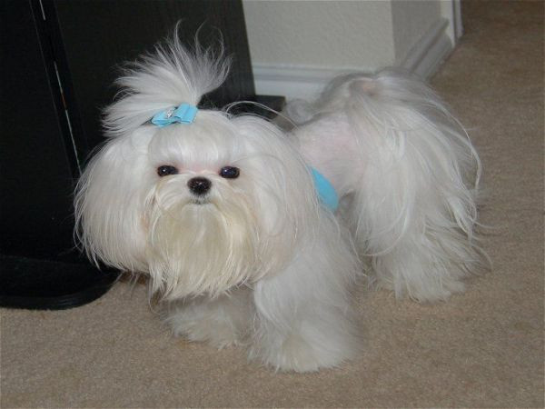 Best ideas about Female Maltese Haircuts . Save or Pin Maltese Dogs 7 Popular Haircut Styles and Colors Now.
