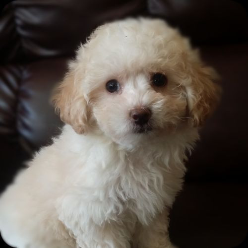 Best ideas about Female Maltese Haircuts . Save or Pin Poodle Haircut Styles Hairs Picture Gallery Now.