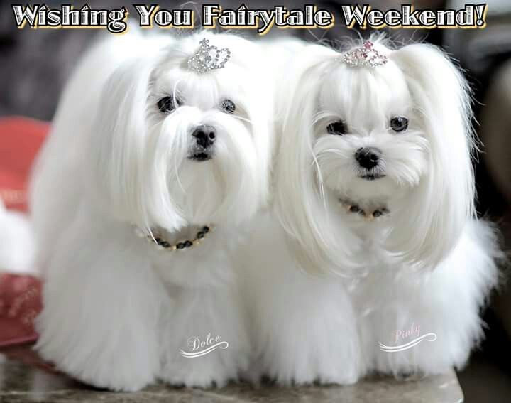 Best ideas about Female Maltese Haircuts . Save or Pin Best 25 Maltese haircut ideas on Pinterest Now.
