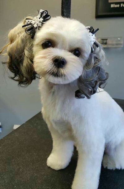 Best ideas about Female Maltese Haircuts . Save or Pin 15 Maltese Haircuts & Hairstyles White Fluffy and Now.