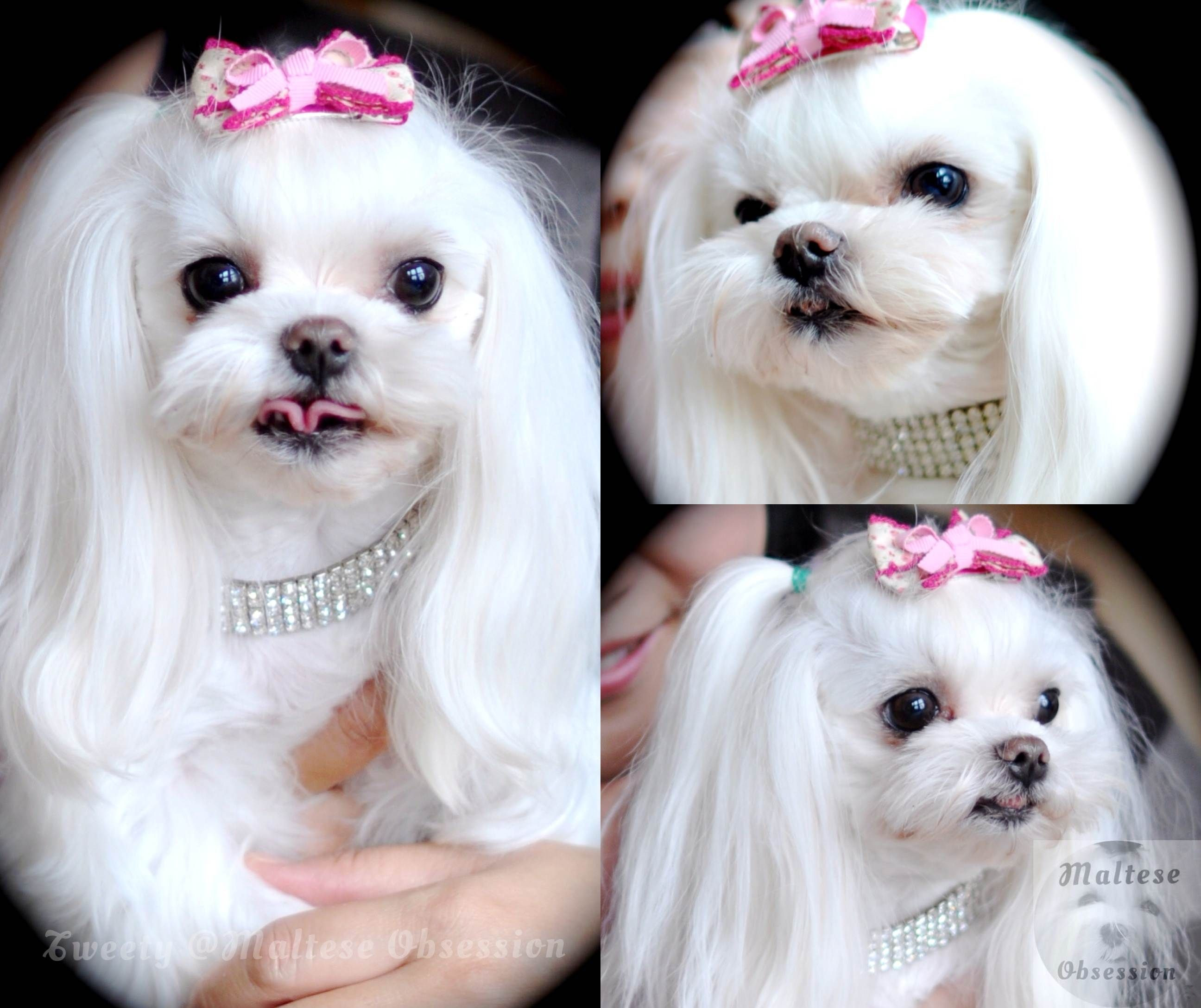 Best ideas about Female Maltese Haircuts . Save or Pin female maltese dog haircuts maltese hairstyles malt 234 s Now.