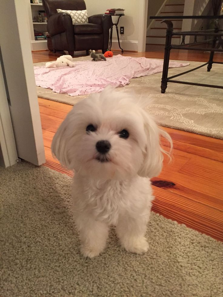 Best ideas about Female Maltese Haircuts . Save or Pin The 25 best Maltipoo haircuts ideas on Pinterest Now.
