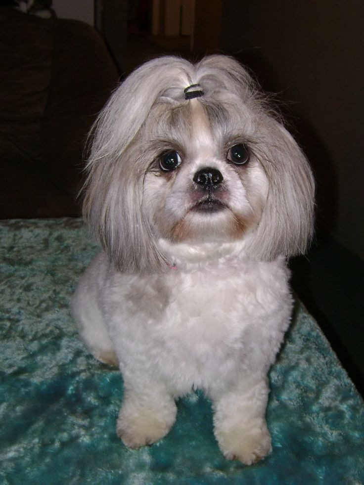 Best ideas about Female Maltese Haircuts . Save or Pin 1000 images about Bella Baby shih tzu on Pinterest Now.