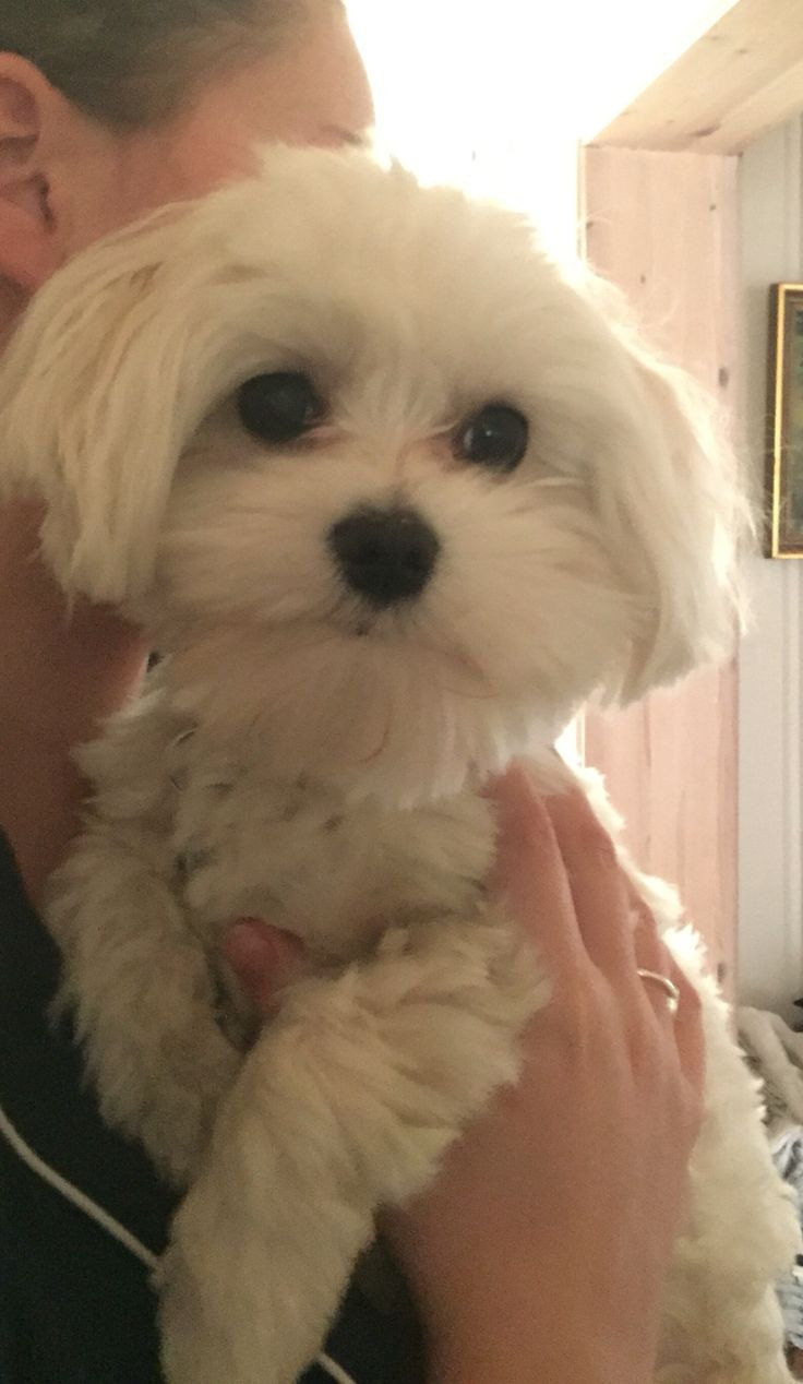Best ideas about Female Maltese Haircuts . Save or Pin female maltese dog haircuts 25 best ideas about maltese Now.