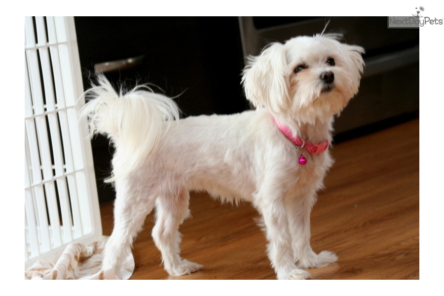Best ideas about Female Maltese Haircuts . Save or Pin female maltese dog haircuts female maltese dog haircuts Now.