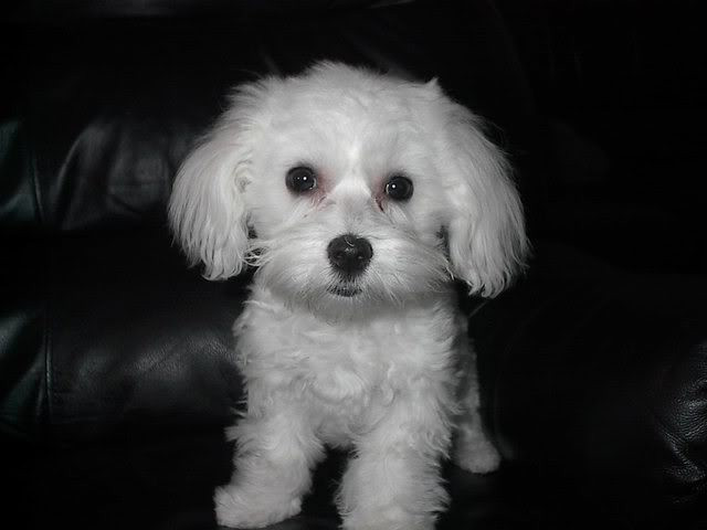Best ideas about Female Maltese Haircuts . Save or Pin Haircuts For Female Maltese Now.