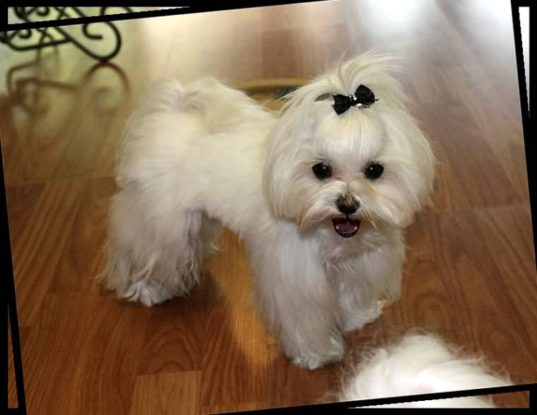 Best ideas about Female Maltese Haircuts . Save or Pin Haircuts for Maltese Dogs Now.