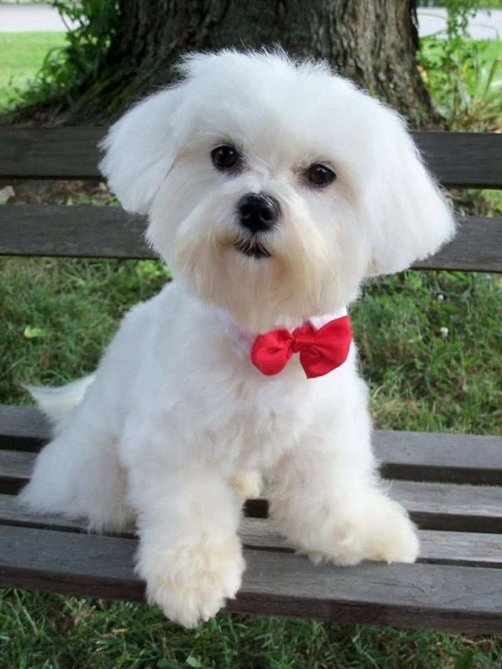 Best ideas about Female Maltese Haircuts . Save or Pin 25 best ideas about Maltese Haircut on Pinterest Now.