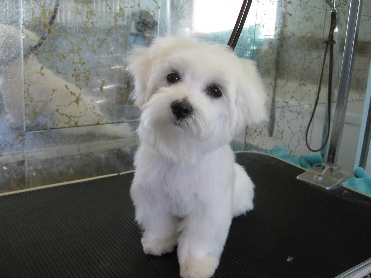 Best ideas about Female Maltese Haircuts . Save or Pin Male Maltese Dog Haircuts Now.