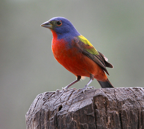 Best ideas about Florida Backyard Birds . Save or Pin This Weekend s Great Backyard Bird Count Allows South Now.