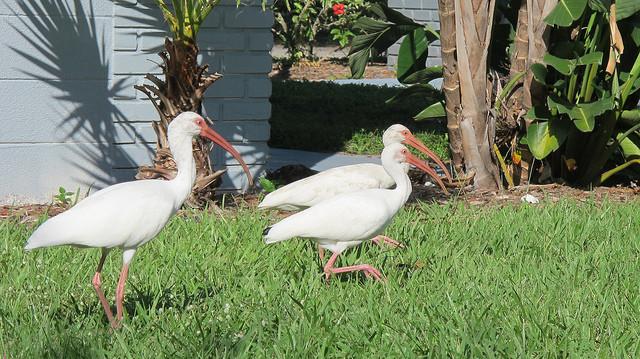 Best ideas about Florida Backyard Birds . Save or Pin Florida backyard birds Now.