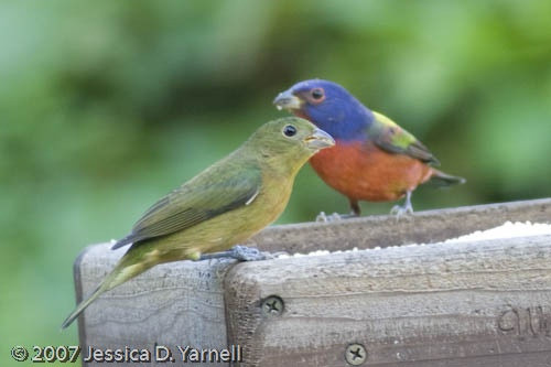 Best ideas about Florida Backyard Birds . Save or Pin Painted Bunting Guide to Central Florida birds Now.
