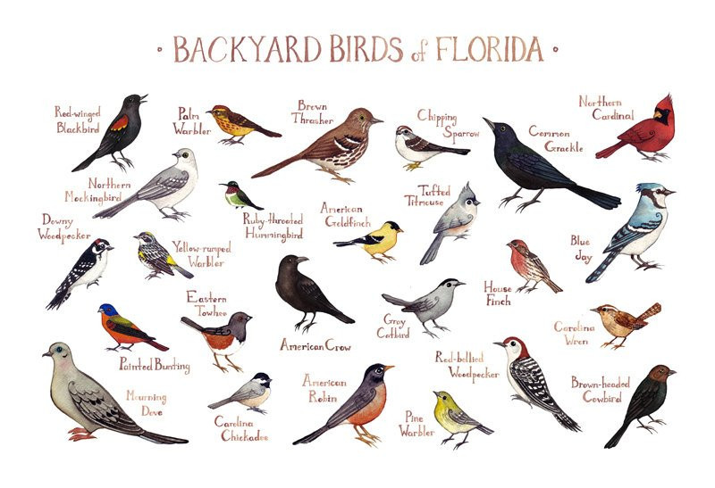 Best ideas about Florida Backyard Birds . Save or Pin Florida Backyard Birds Field Guide Art Print Watercolor Now.