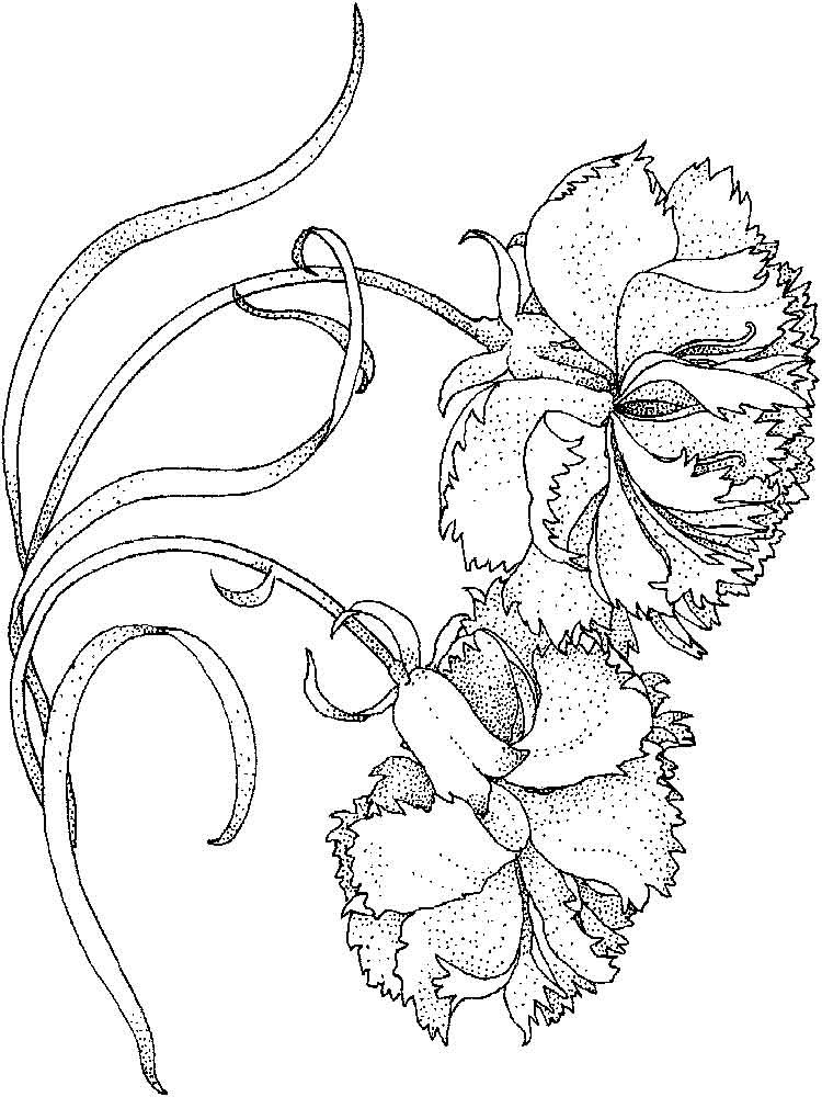 Free Carnation Printable Coloring Sheets  Carnation flower coloring pages Download and print