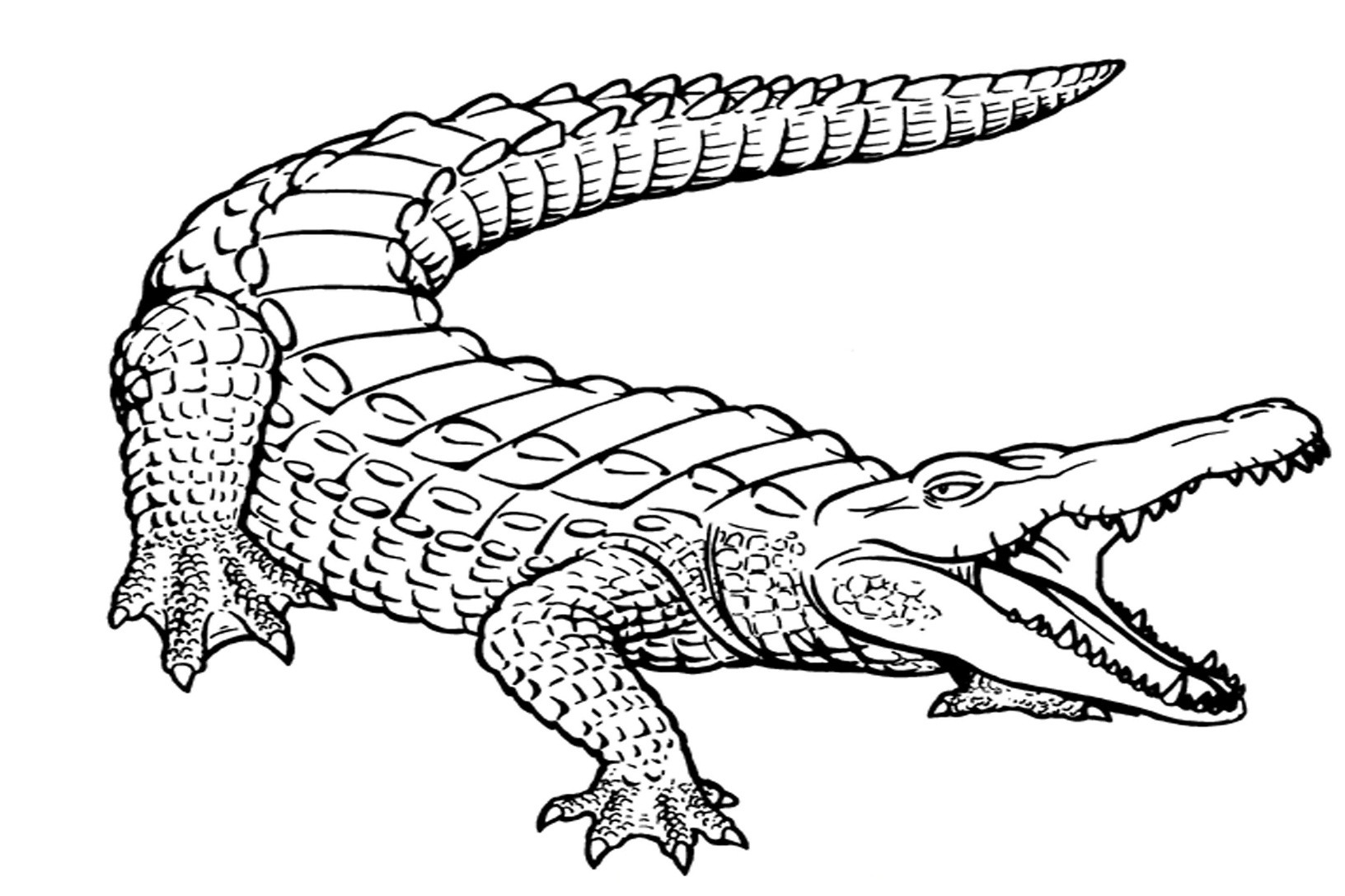 Free Coloring Pages Of Alligators  Free Printable Alligator Coloring Pages For Kids