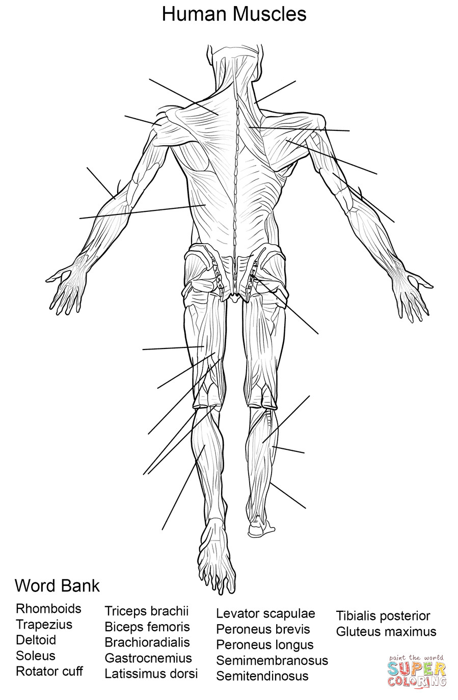 Free Printable Human Anatomy Coloring Pages  17 Best of Human Muscle Worksheets Label Muscles
