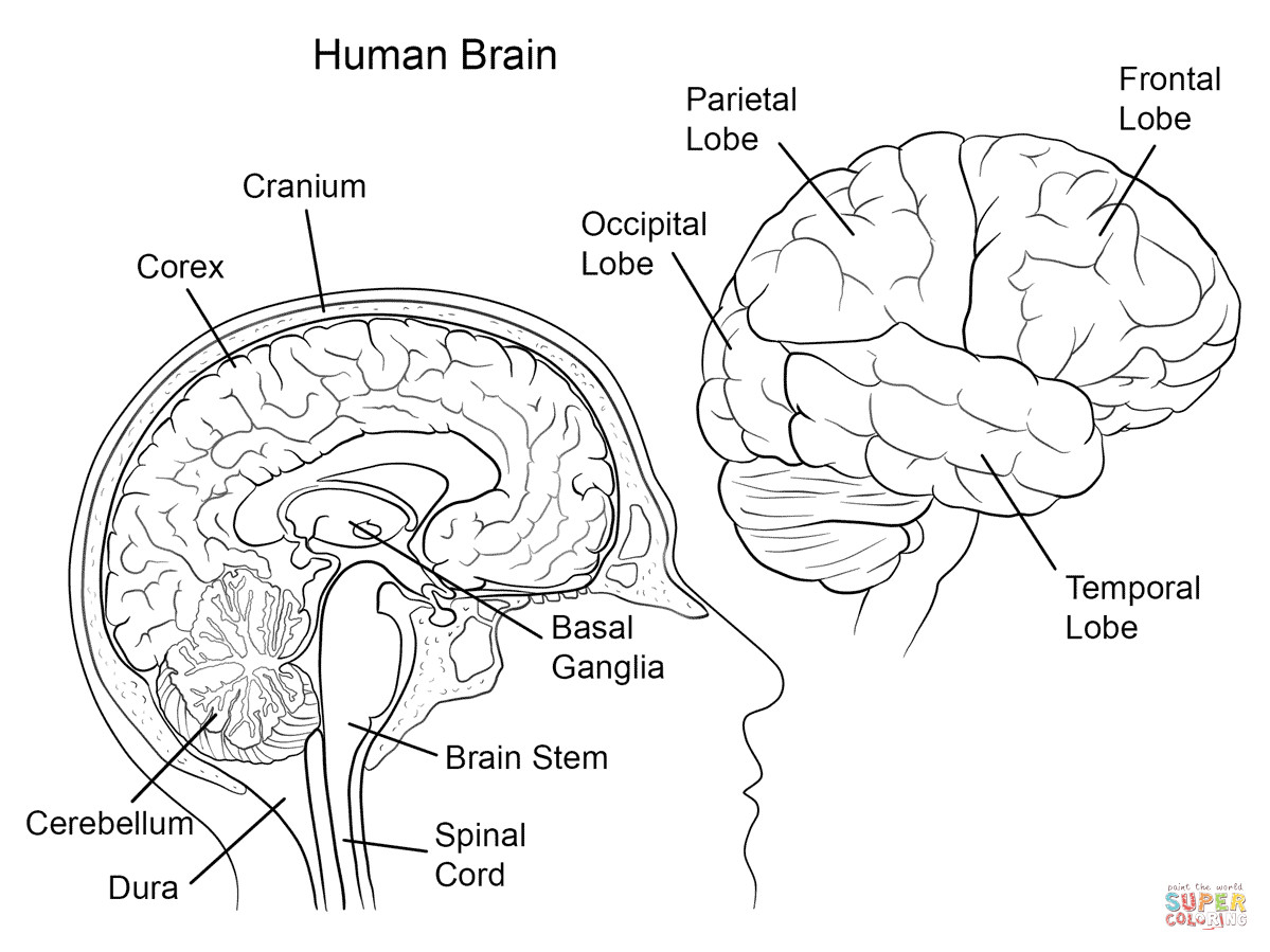 Free Printable Human Anatomy Coloring Pages  Human Brain Anatomy coloring page