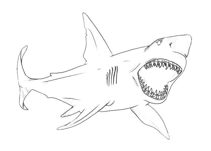 Great White Shark Coloring Pages  Great White Shark Coloring Page Animals Town Animals Color