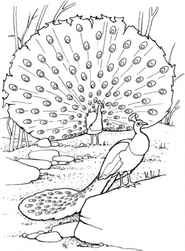 Peacock Coloring Sheet  Free Printable Peacock Coloring Pages For Kids