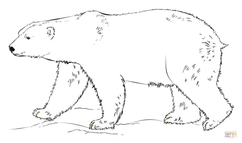 Polar Bear Coloring Sheet  Polar Bear walking coloring page