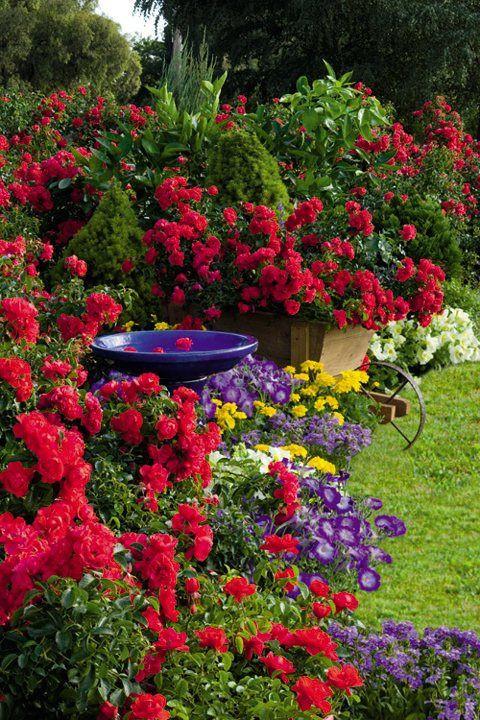 Best ideas about Rose Garden Ideas . Save or Pin La Belle Jardin Flower Carpet Scarlet rose in cottage garden Now.