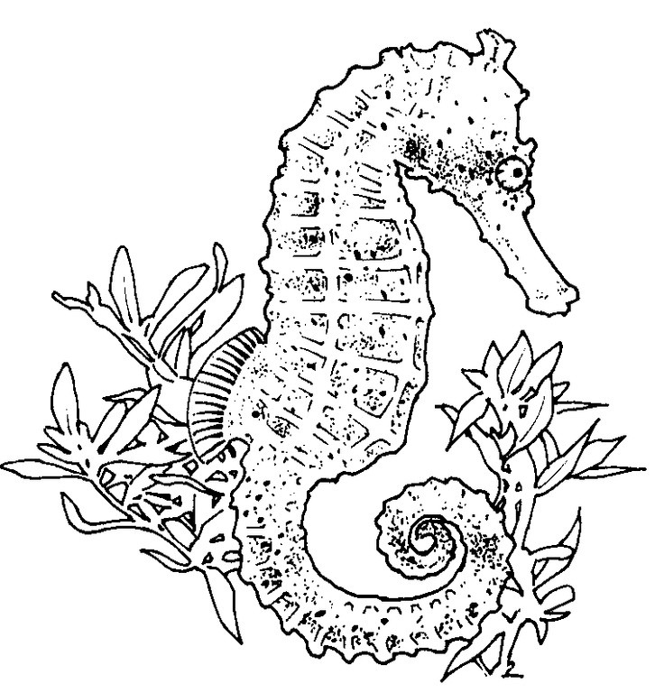 Seahorse Coloring Pages For Adults  realistic seahorse coloring page Seahorses
