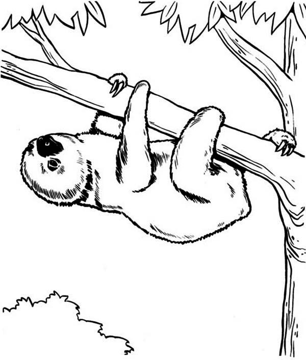 Sloth Coloring Sheets For Boys  Endangered Species Sloth Coloring Page