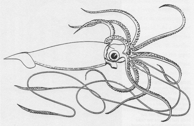 Best ideas about Squid Coloring Pages . Save or Pin Anglo Saxon Norse & Celtic Giant squid spotted in Iceland Now.