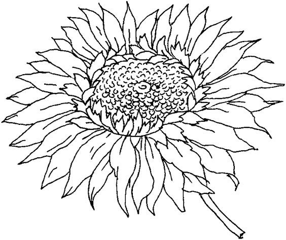 Sunflower Coloring Pages For Adults  Simple Sunflower Coloring Pages