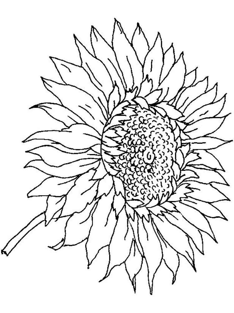 Sunflower Coloring Pages For Adults  Detailed Sunflower Coloring Pages
