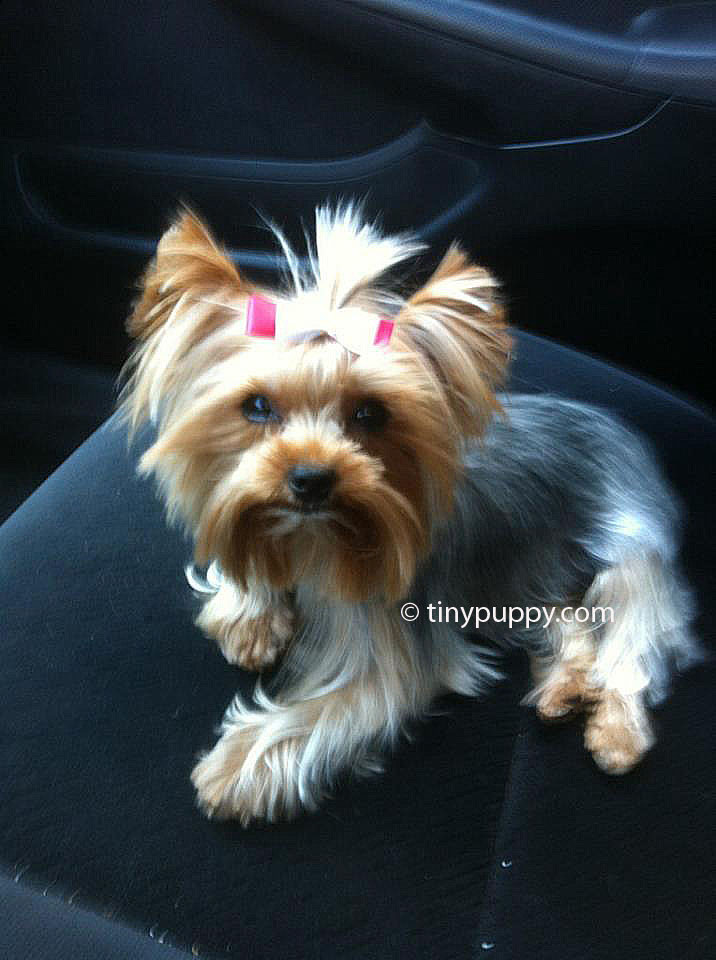 Best 20 Yorkie Haircuts Female Best Collections Ever