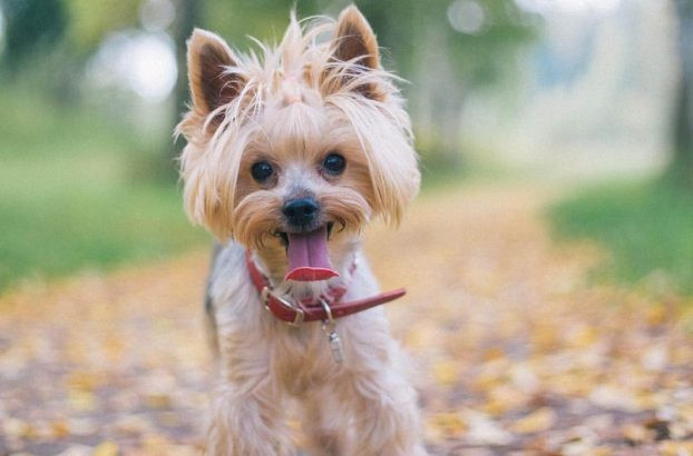 Yorkie Haircuts For Females  Yorkie haircuts for males and females 60 pictures