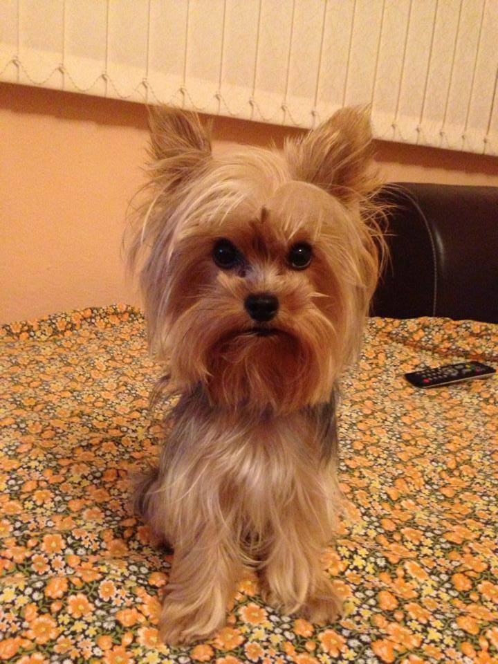 Yorkie Haircuts For Females  Yorkie Hairstyles
