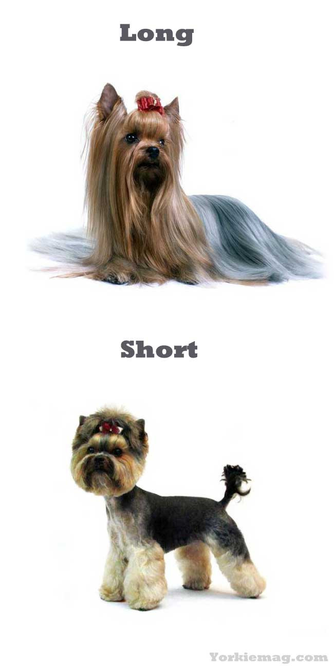 Yorkie Haircuts For Females  100 Yorkie Haircuts for Males Females Yorkshire