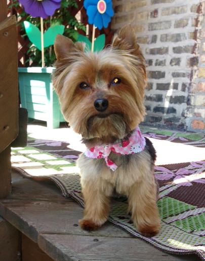 Yorkie Haircuts For Females  Miniature Yorkshire Terrier Summertime Yorkie Haircut