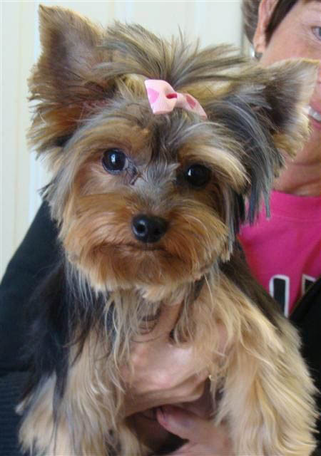Yorkie Haircuts For Females  Yorkie Haircuts Coolest Yorkshire Terrier Haircuts